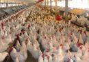 العراق يحظر استيراد الدواجن والبيض والطيور بانواعها من 35 دولة