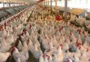 الزراعة النيابية: استيعاب خريجي كليات الزراعة والطب البيطري بزيادة مزارع الدواجن