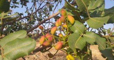 الزراعة تعلن نجاح زراعة الفستق الحلبي في محافظة نينوى